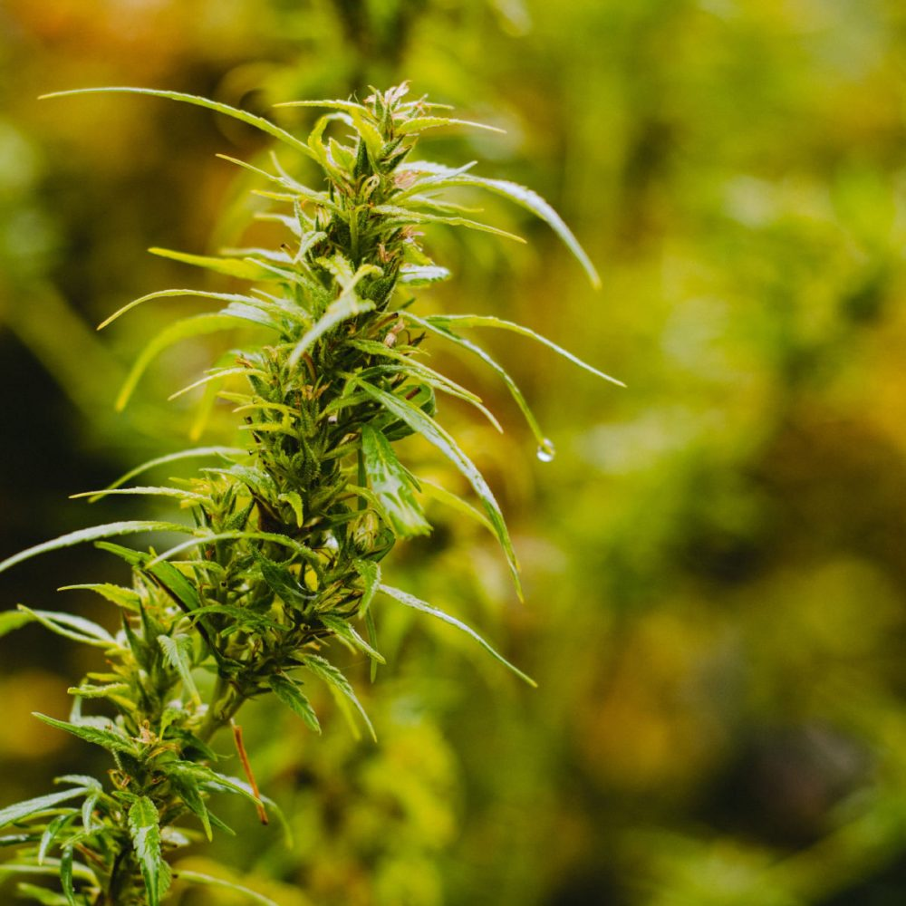 dispensary-marijuana-theme (10)-min